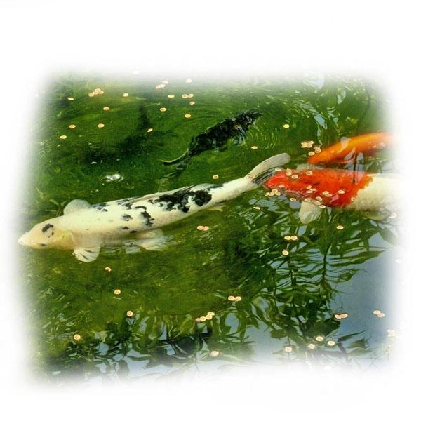 fische-im-klaren-koiteich