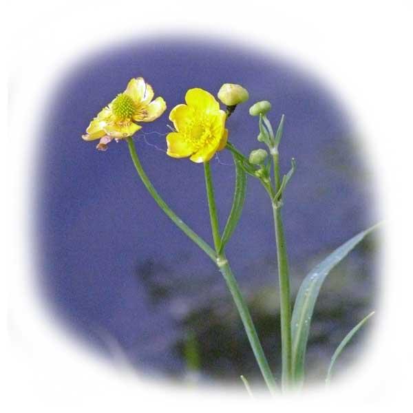gelbe-blueten-an-teichpflanzen