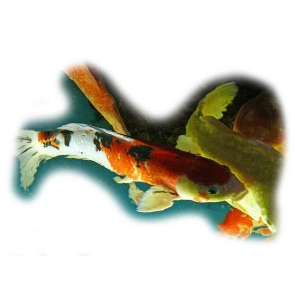 koi-pflege-teichfische