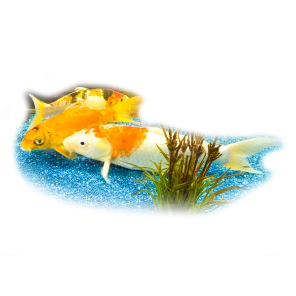 koi-bild-foto-beispiel-klares-wasser-fischpflege