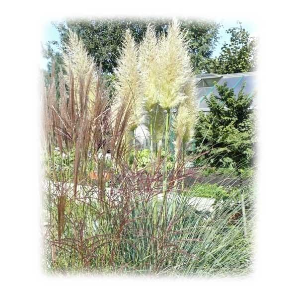 pampasgras-teich-herbst