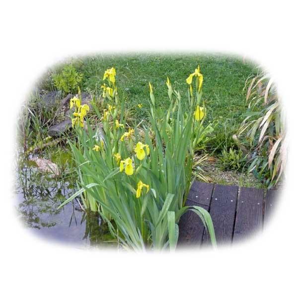 teichpflanzen-leuchtende-farben-richtig-pflegen