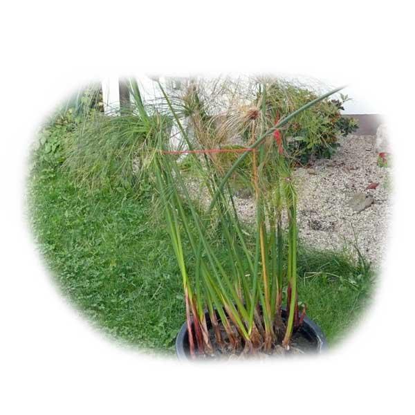 teichpflanze-im-eimer-ueberwintern