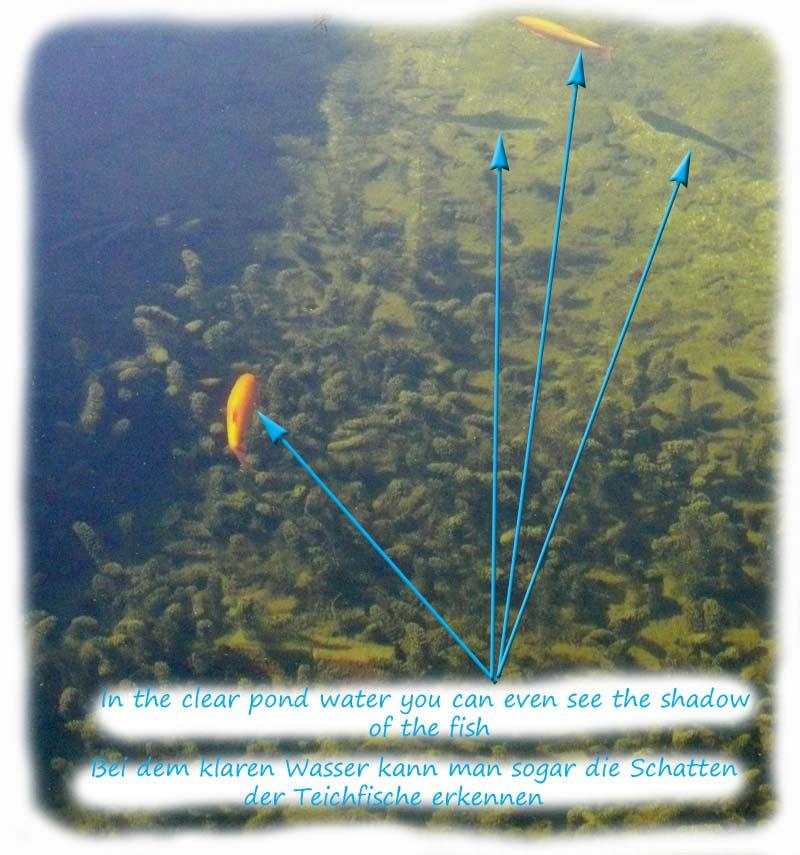 fische-im-klaren-teichwasser-durch-filter