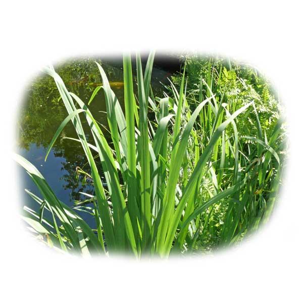 schilf-farne-bepflanzung-am-teich