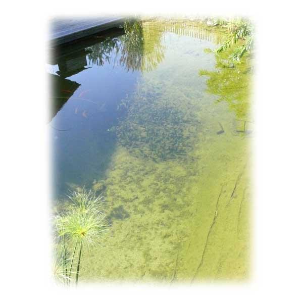 glasklares-teichwasser-im-sommer-algenfrei