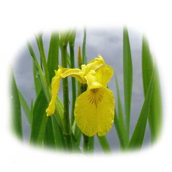wasserlilie-teichpflege-pflanzen